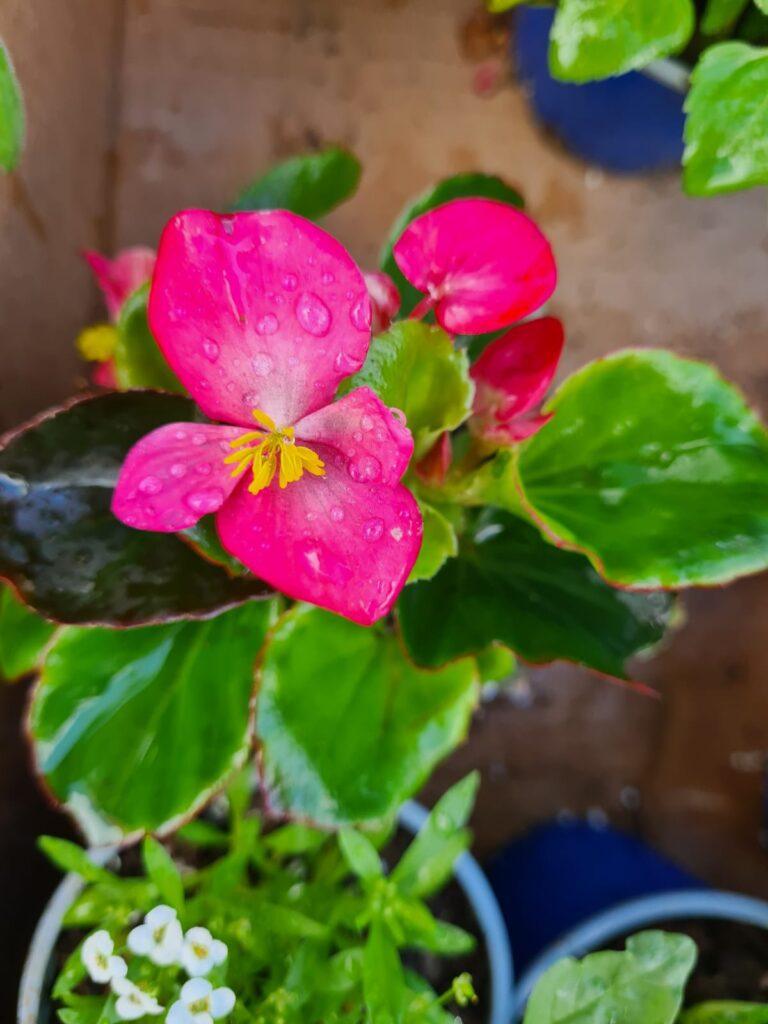 Un foarte frumos - begonie - cu vanzare online in cluj napoca