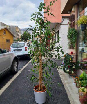 Ficus in ghiveci ceramic 1