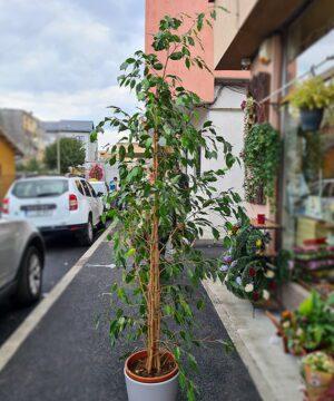 Ficus in ghiveci ceramic 2